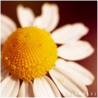 Daisy. by kle0012