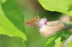 Tawny-edged Skipper by Gerryanimator
