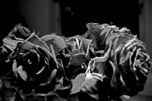 Roses by hcrobber