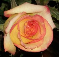 Rose Swirl by frannienana