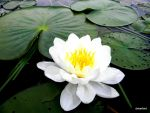 Water Lily by debraM