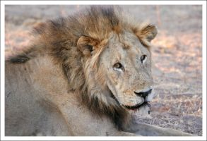 Lion - 3713 by eight-eight