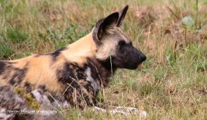 African Wild Dog II by MorganeS-Photographe