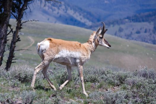 Yellowstone Pronghorn by LakeFX