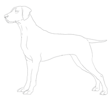 German Short Haired Pointer Line-Art by DoggieDoodles