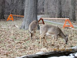 Deer  i saw at ojibway pic 5 by catsvsfox