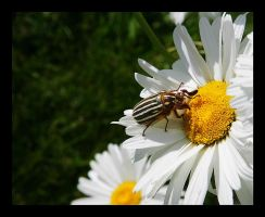 Daisy Beetle by swashbuckler