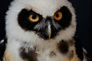 Spectacled Owl 2 by dark-angel-11309