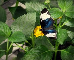 heliconius cydno by Hedwigs-art