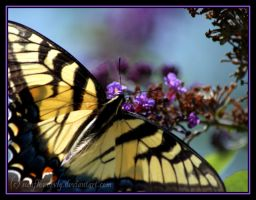 Butterfly Wings by sunflowervlg