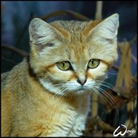 Sand cat comes from desert by woxys