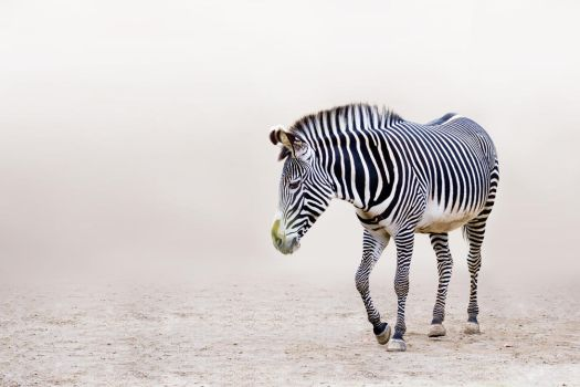 Grevy's Zebra: I Walk Alone by Avestra