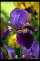 Purple Iris 2007 by UffdaGreg