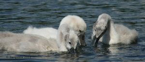 Swans: Fledglings by Tarquinia