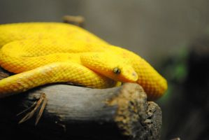 Eyelash Viper by 8TwilightAngel8