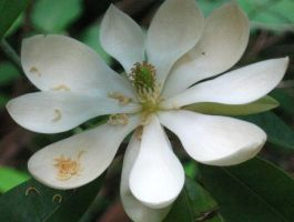 sweet bay magnolia flower by crazygardener