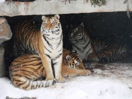 Family - Siberian Tigers by roamingtigress