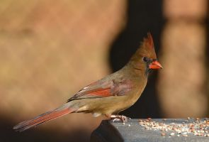 Female Cardinal 12-13-13 by Tailgun2009