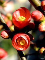 Chaenomeles Japonica by Klytia70