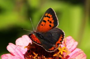 Small Copper by MBInc