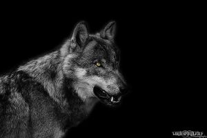 GreyWolf : excited by WhiteSpiritWolf