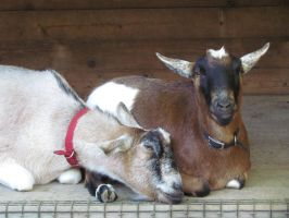 Goats Snuggled by SubRosa-undertherose