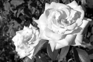 Roses in Black and White by PadawanLinea