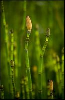 Reed Seed by bamako