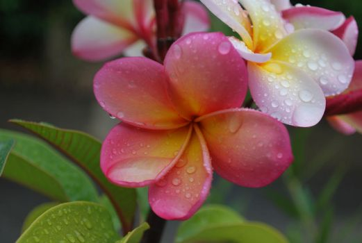 Drops of rain in the petals by Bluey2910