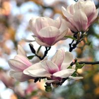 under the magnolia tree... by MorkOrk