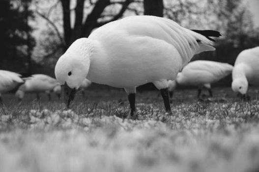 Goose by votra