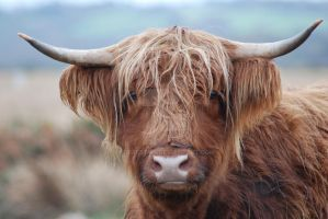 Highland cow by Forrestris