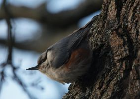 nuthatch by Malmborg