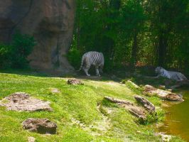 Resting White Tigers by jesus-at-art