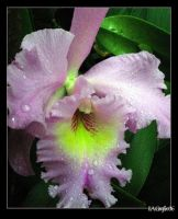 Orchid Series: 6 by I-A-Grafix