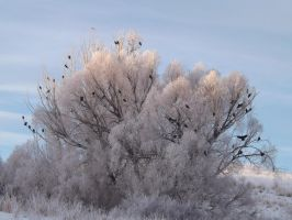 Hanging out with the Hoar Frost by drigulch