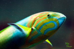 Colorful Fish by Romanara