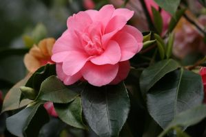 view to pink camellia 2 by ingeline-art