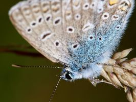 Common Blue upside down by webcruiser
