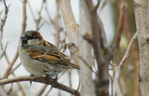 Male sparrow by TomKilbane