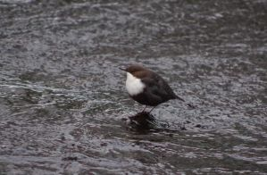 White-throated dipper by OldEric