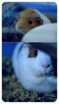 GUINEAPIGS by fikmik