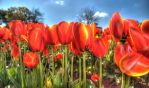 Tulips HDR by DanielleMiner