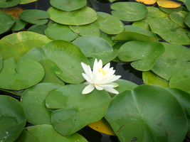 water lilly 2 by Azenor-stock
