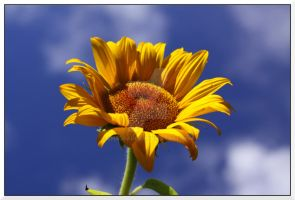 Sunflower by ChadBauer
