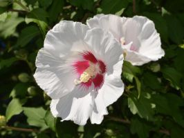 Hibiscus0011 by osam-devet