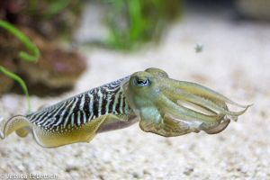 Cuttlefish by Vespertine420