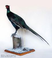Taxidermy - Black Pheasant by Illahie