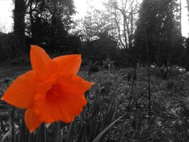Orange daffodil on dark by Manipulate-It