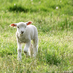 First Lamb by FriendFrog